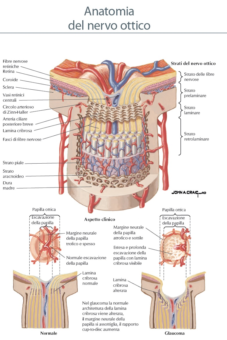 Anatomia del nervo ottico