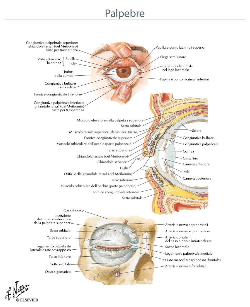 Anatomia degli annessi oculari