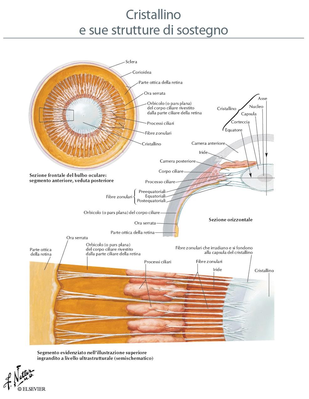 Anatomia del cristallino e dell' apparato sospensore