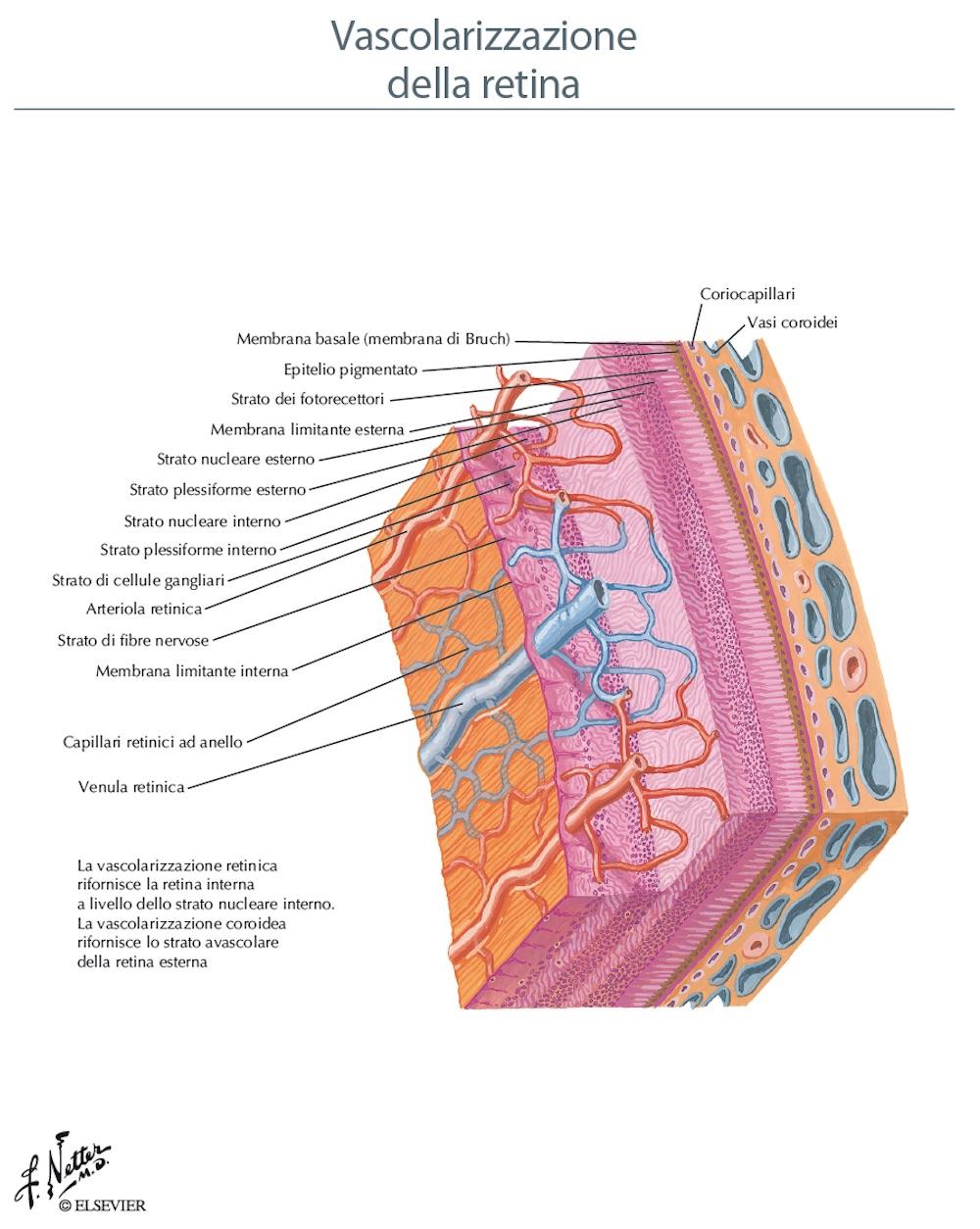 Anatomia vascolare della retina