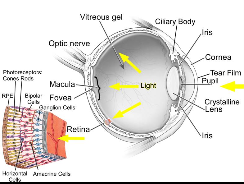 Percorso della luce verso la retina