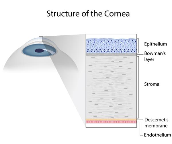 Anatomia della cornea